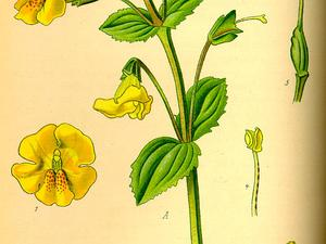 MIGU/Illustration_Mimulus_guttatus0_300.jpg