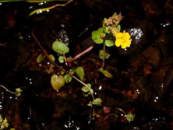 Seep Monkeyflower (Mimulus Guttatus) http://www.sagebud.com/seep-monkeyflower-mimulus-guttatus/