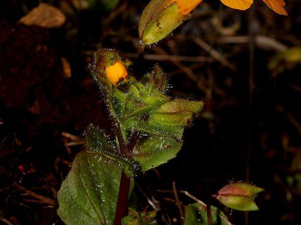 Seep Monkeyflower (Mimulus Guttatus) http://www.sagebud.com/seep-monkeyflower-mimulus-guttatus