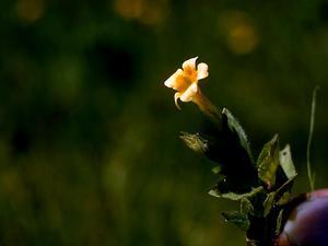 Muskflower