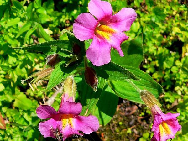 Monkeyflower (Mimulus) http://www.sagebud.com/monkeyflower-mimulus/