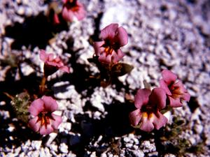 Dwarf Purple Monkeyflower