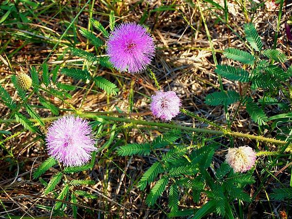 Nuttall's Sensitive-Briar (Mimosa Nuttallii) http://www.sagebud.com/nuttalls-sensitive-briar-mimosa-nuttallii/