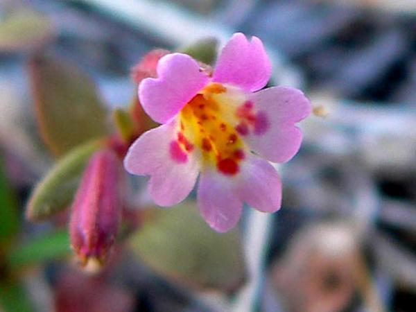 Little Redstem Monkeyflower (Mimulus Rubellus) http://www.sagebud.com/little-redstem-monkeyflower-mimulus-rubellus