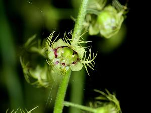 MITEL/Mitella_caulescens_0975_300.JPG