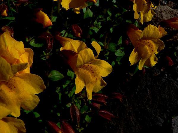 Tiling's Monkeyflower (Mimulus Tilingii) http://www.sagebud.com/tilings-monkeyflower-mimulus-tilingii/
