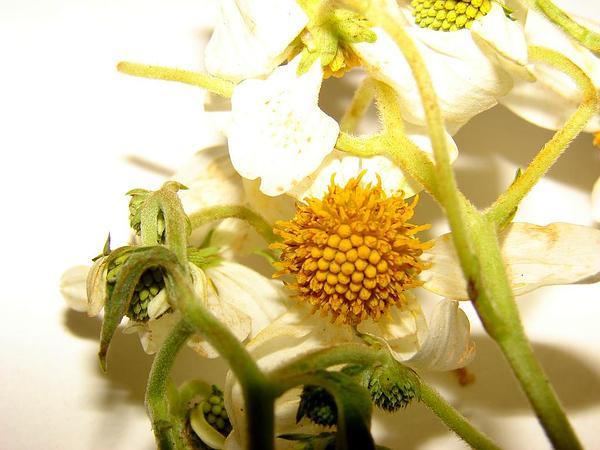 Treedaisy (Montanoa Hibiscifolia) http://www.sagebud.com/treedaisy-montanoa-hibiscifolia/