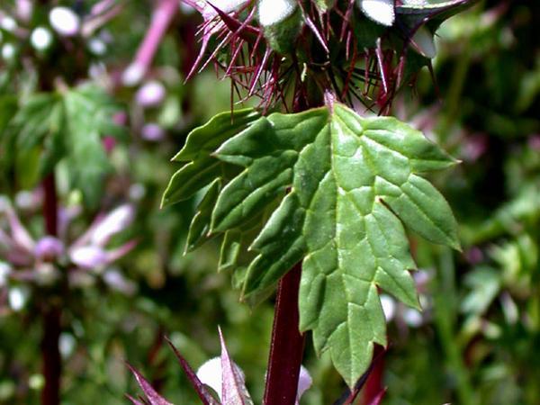 Moluccella (Moluccella) http://www.sagebud.com/moluccella-moluccella/