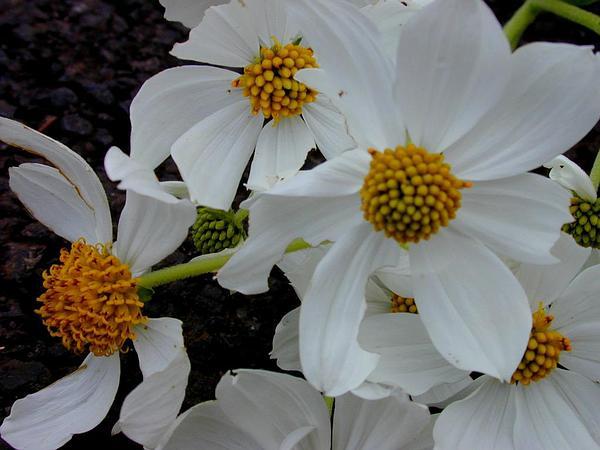 Montanoa (Montanoa) http://www.sagebud.com/montanoa-montanoa/