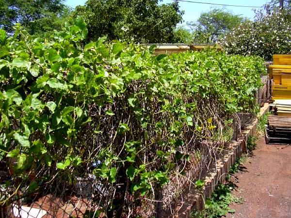 Mucuna (Mucuna) http://www.sagebud.com/mucuna-mucuna