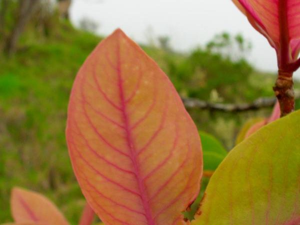 Lanai Colicwood (Myrsine Lanaiensis) http://www.sagebud.com/lanai-colicwood-myrsine-lanaiensis