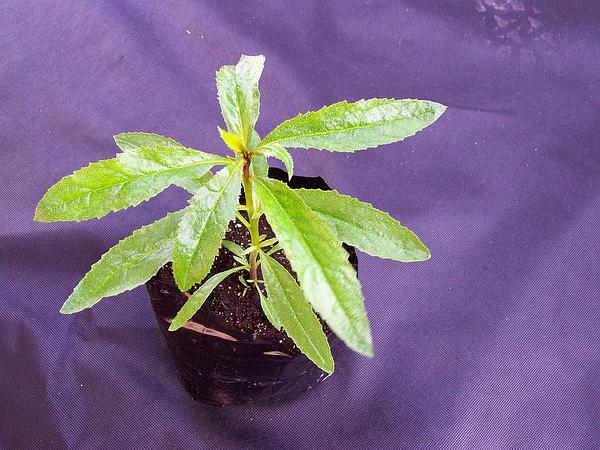 Ngaio Tree (Myoporum Laetum) http://www.sagebud.com/ngaio-tree-myoporum-laetum