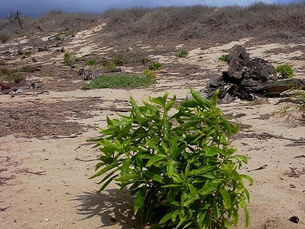 Myoporum (Myoporum) http://www.sagebud.com/myoporum-myoporum