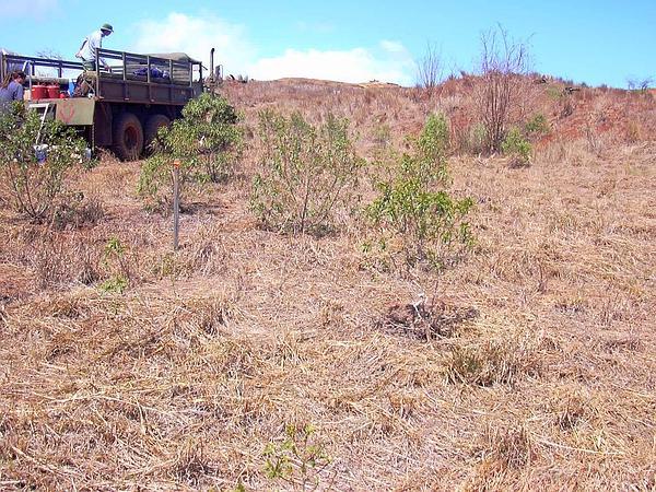 Naio (Myoporum Sandwicense) http://www.sagebud.com/naio-myoporum-sandwicense/