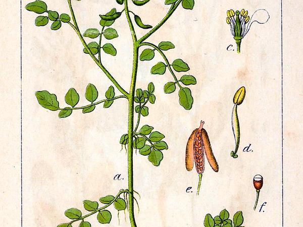 Watercress (Nasturtium Officinale) http://www.sagebud.com/watercress-nasturtium-officinale
