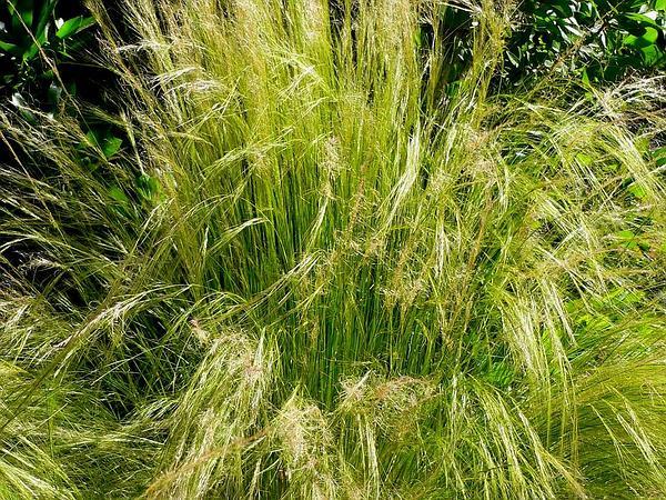 Needlegrass (Nassella) http://www.sagebud.com/needlegrass-nassella