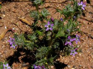 Pincushionplant