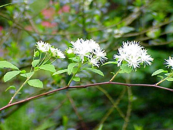 Alabama Snow-Wreath (Neviusia Alabamensis) http://www.sagebud.com/alabama-snow-wreath-neviusia-alabamensis/