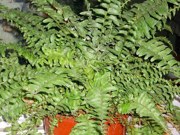 Boston Swordfern (Nephrolepis Exaltata) http://www.sagebud.com/boston-swordfern-nephrolepis-exaltata