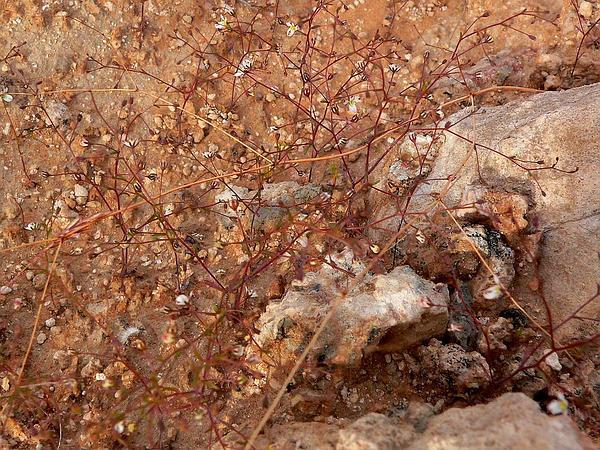 Glandular Threadplant (Nemacladus Glanduliferus) http://www.sagebud.com/glandular-threadplant-nemacladus-glanduliferus