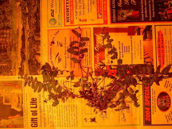 Swordfern (Nephrolepis) http://www.sagebud.com/swordfern-nephrolepis