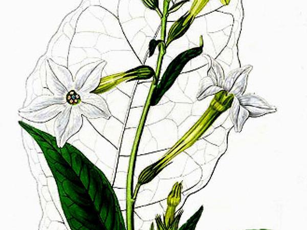 Jasmine Tobacco (Nicotiana Alata) http://www.sagebud.com/jasmine-tobacco-nicotiana-alata