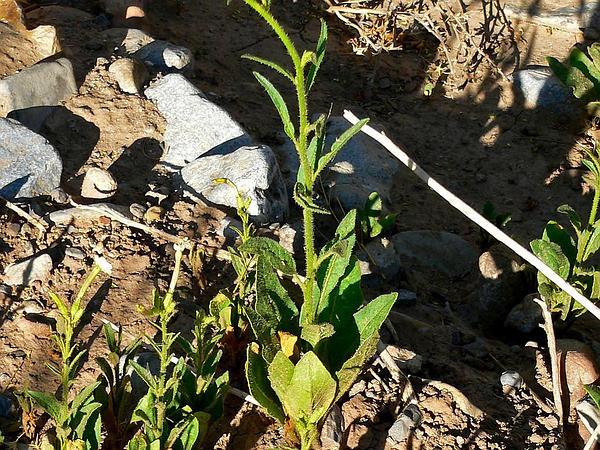 Coyote Tobacco (Nicotiana Attenuata) http://www.sagebud.com/coyote-tobacco-nicotiana-attenuata