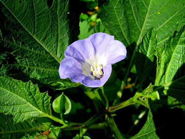 Nicandra (Nicandra) http://www.sagebud.com/nicandra-nicandra