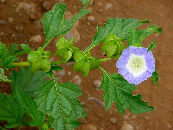 Nicandra (Nicandra) http://www.sagebud.com/nicandra-nicandra/