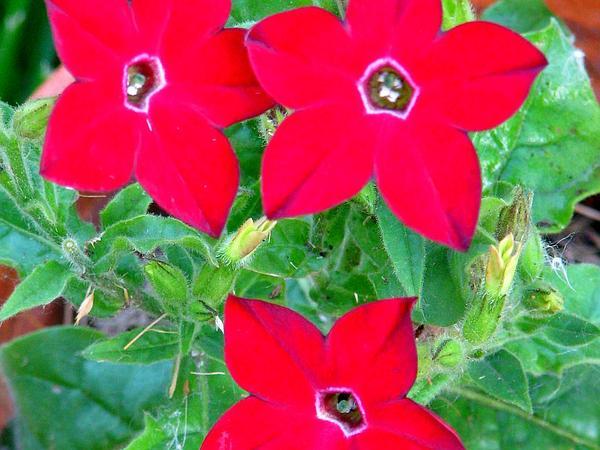 Tobacco (Nicotiana) http://www.sagebud.com/tobacco-nicotiana