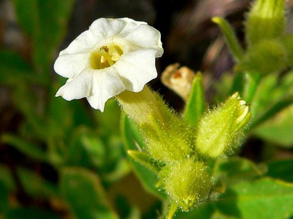 Desert Tobacco (Nicotiana Obtusifolia) http://www.sagebud.com/desert-tobacco-nicotiana-obtusifolia
