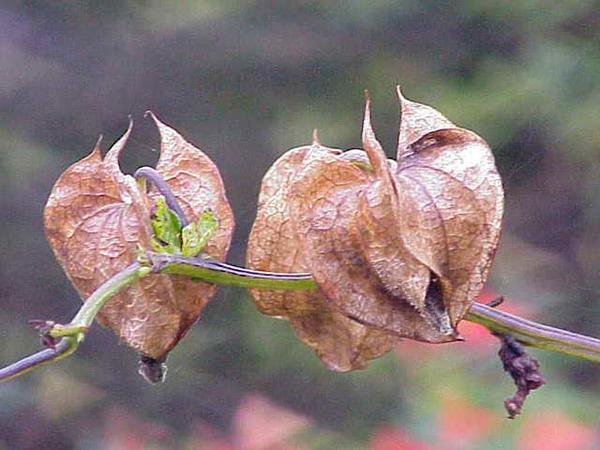 Apple Of Peru (Nicandra Physalodes) http://www.sagebud.com/apple-of-peru-nicandra-physalodes/