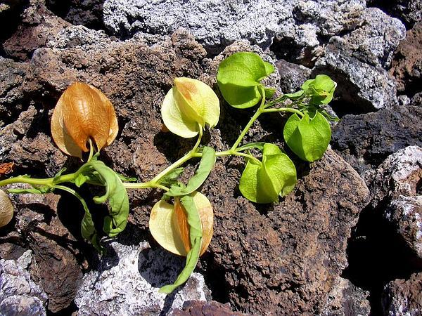 Apple Of Peru (Nicandra Physalodes) http://www.sagebud.com/apple-of-peru-nicandra-physalodes