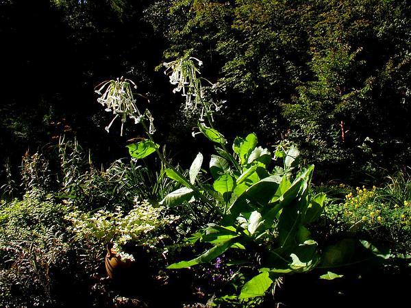 South American Tobacco (Nicotiana Sylvestris) http://www.sagebud.com/south-american-tobacco-nicotiana-sylvestris