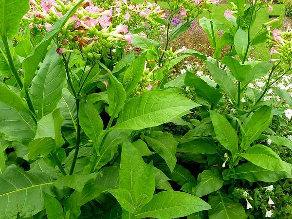 Cultivated Tobacco (Nicotiana Tabacum) http://www.sagebud.com/cultivated-tobacco-nicotiana-tabacum/