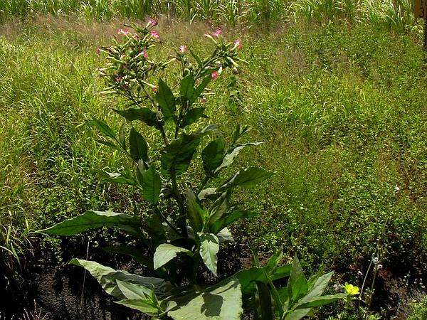 Cultivated Tobacco (Nicotiana Tabacum) http://www.sagebud.com/cultivated-tobacco-nicotiana-tabacum