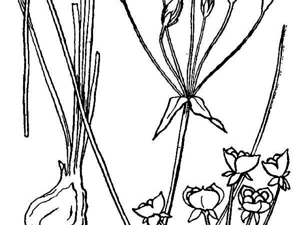 Crowpoison (Nothoscordum Bivalve) http://www.sagebud.com/crowpoison-nothoscordum-bivalve
