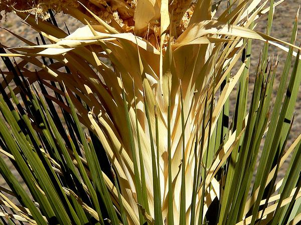 Parry's Beargrass (Nolina Parryi) http://www.sagebud.com/parrys-beargrass-nolina-parryi