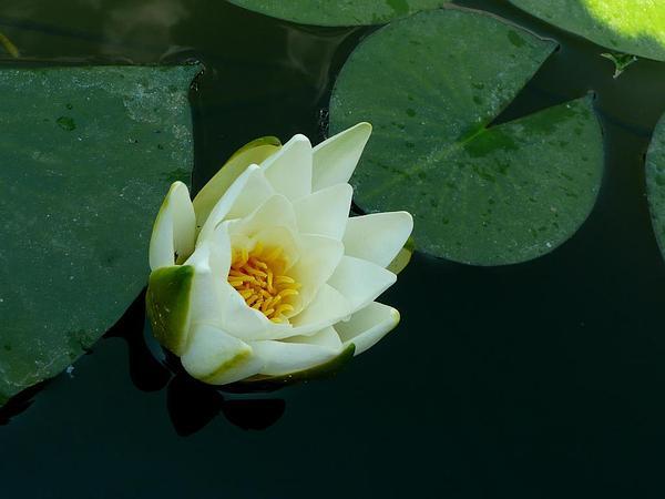 European White Waterlily (Nymphaea Alba) http://www.sagebud.com/european-white-waterlily-nymphaea-alba