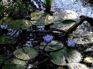 Cape Blue Waterlily