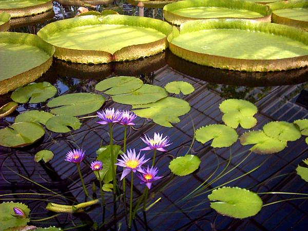 Egyptian Lotus (Nymphaea Caerulea)