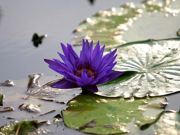 Egyptian Lotus (Nymphaea Caerulea) http://www.sagebud.com/egyptian-lotus-nymphaea-caerulea/