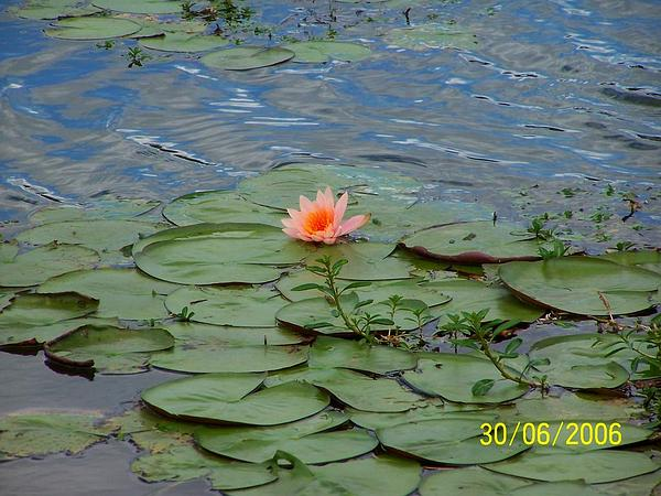 Waterlily (Nymphaea) http://www.sagebud.com/waterlily-nymphaea/
