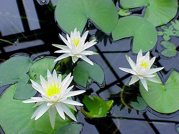 American White Waterlily (Nymphaea Odorata) http://www.sagebud.com/american-white-waterlily-nymphaea-odorata/