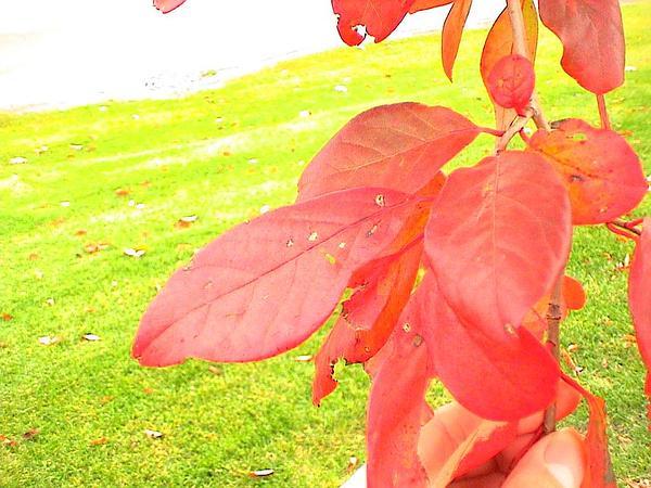 Blackgum (Nyssa Sylvatica) http://www.sagebud.com/blackgum-nyssa-sylvatica/