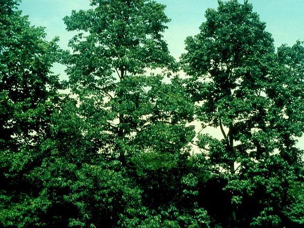 Blackgum (Nyssa Sylvatica) http://www.sagebud.com/blackgum-nyssa-sylvatica