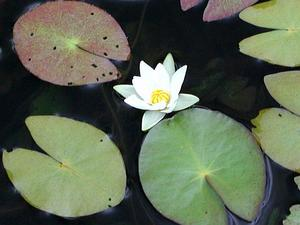Pygmy Waterlily