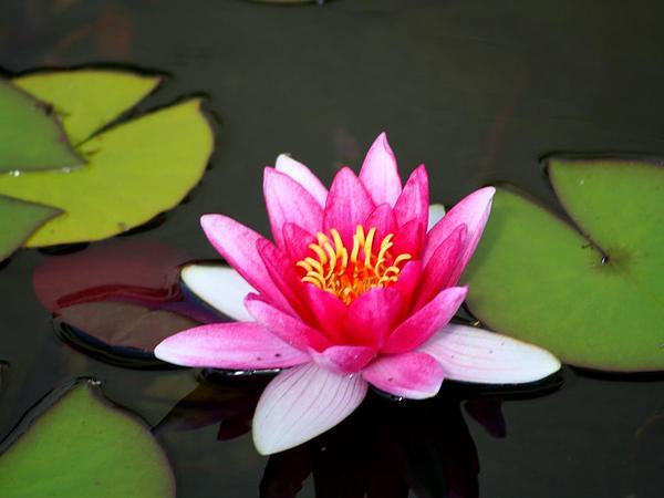 Pygmy Waterlily (Nymphaea Tetragona) http://www.sagebud.com/pygmy-waterlily-nymphaea-tetragona/