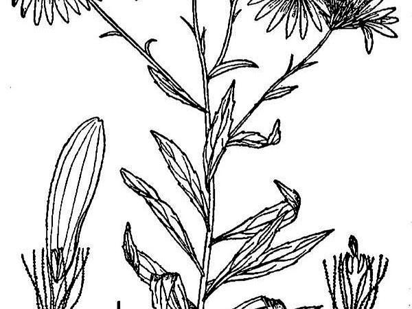 Bog Aster (Oclemena Nemoralis) http://www.sagebud.com/bog-aster-oclemena-nemoralis