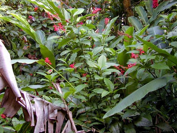 Mottled Toothedthread (Odontonema Cuspidatum) http://www.sagebud.com/mottled-toothedthread-odontonema-cuspidatum